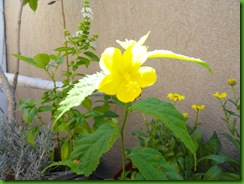 Pavonia Sepium