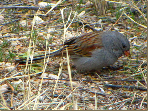 BLACK CHINNED SPARROW (2)