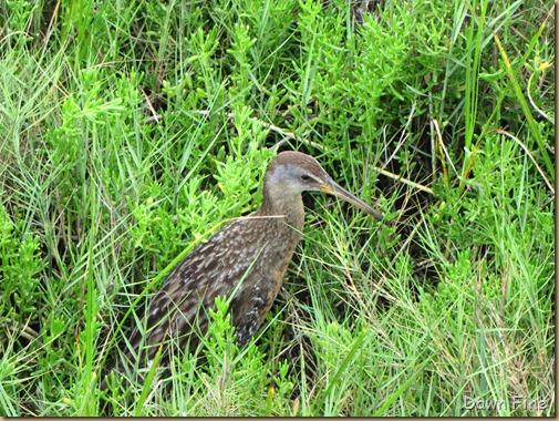 Padre Island birding_084