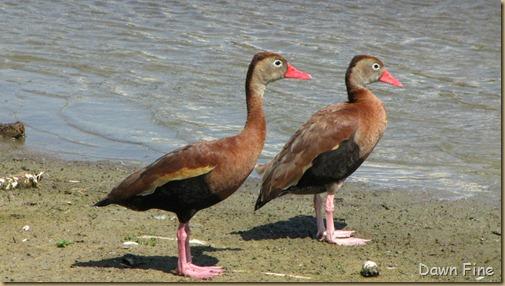 Padre Island birding_209