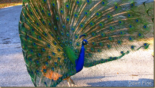 Peacocks @Magnolia Park, Apopka Florida_115