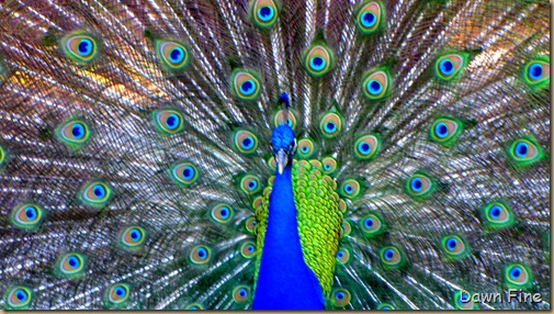 Peacocks @Magnolia Park, Apopka Florida_101