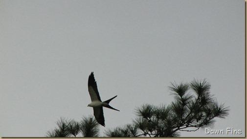 swallowtailed kite_004