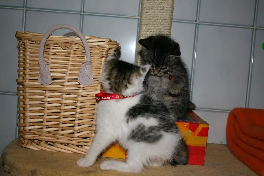 ZELIE & CLEMENTINE, chatonnes de 6 semaines à Lesquin (59) IMG_5056