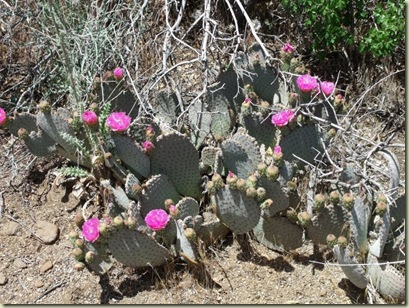 04 Flowering Prickly Pear Cactus Weaver Mts Yarnell AZ (800x600)