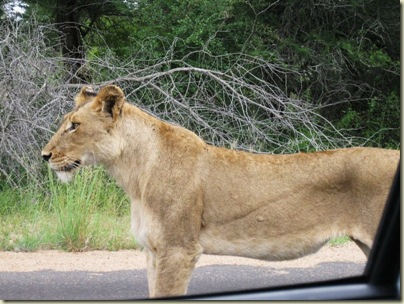 Lioness Kruger National Park South Africa