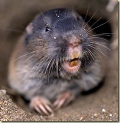02 Northern Pocket Gopher (300x306)
