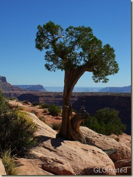 08 Juniper at the rim looking E Tuweep GRCA NP AZ (768x1024)