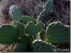 03 Heart shaped prickly pear cactus Weaver Mts Yarnell AZ (800x599)