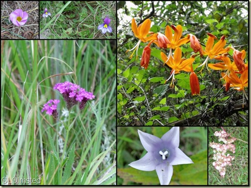 02 flowers along Sterkspruit Falls trail collage (1024x768)