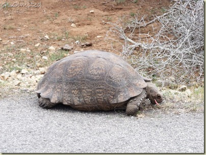 05 Tortoise at Addo Elephant NP Eastern Cape ZA (1024x768)