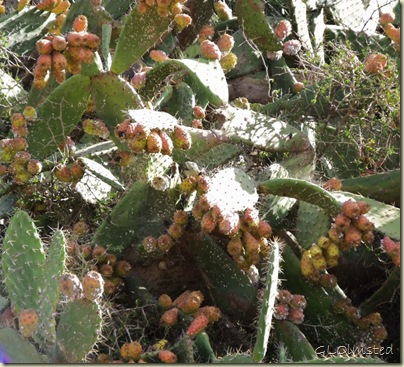 11 Like Prickly Pear Cactus loaded with fruit Addo Elephant NP Eastern Cape ZA (1024x928)