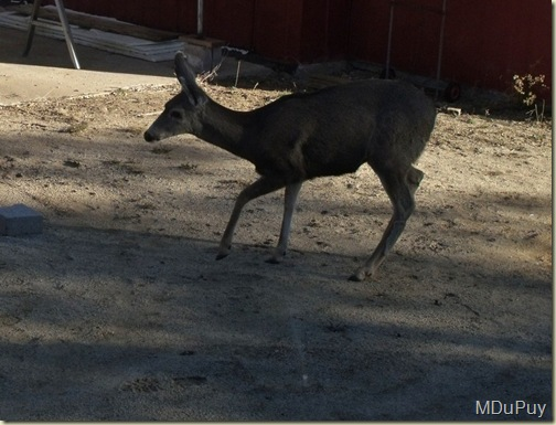 02 Doe in yard Yarnell AZ by Mike (1024x779)