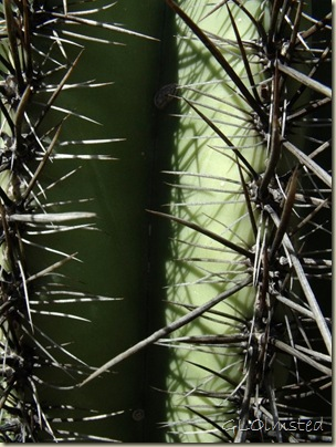 10 Closeup Saguaro BLM desert off Vulture Mine Rd Wickenburg AZ (768x1024)