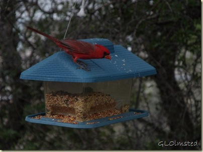 02 Male cardinal on feeder Yarnell AZ (1024x768)