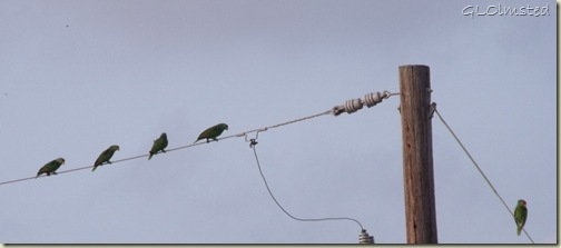 01 Red-crowned parrot San Benito TX (1024x449)