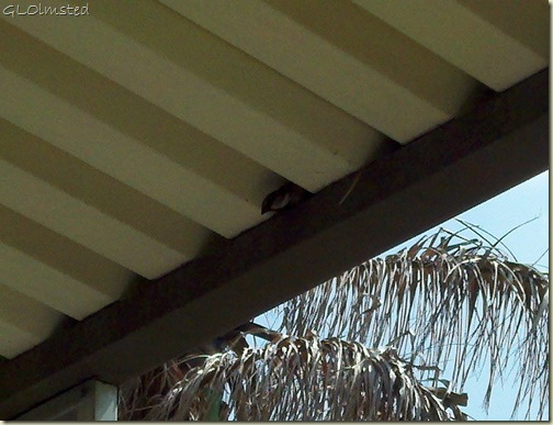 03 Harris' Sparrow Mom's carport San Benito TX phone (816x624)