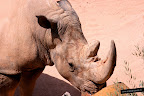 Foto de un rinoceronte del Bioparc