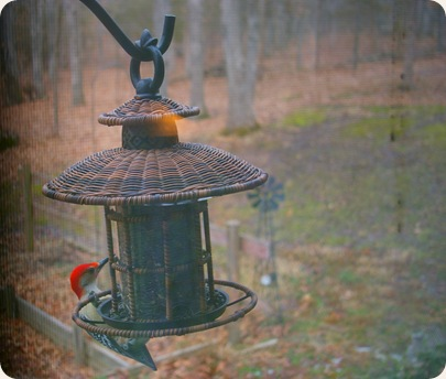 red headed wood pecker