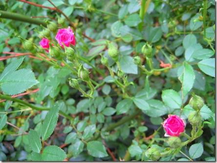 Pink miniature roses