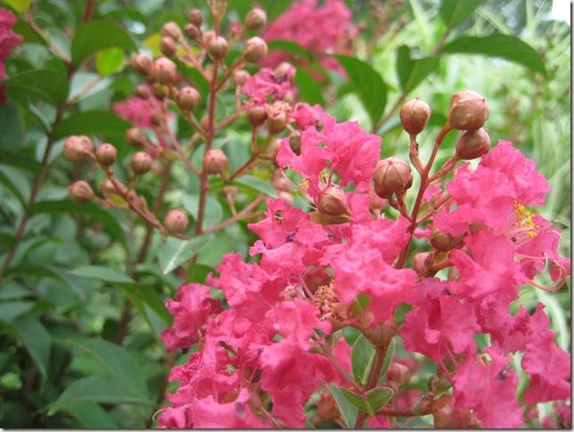 Pink Crepe Myrtle bush