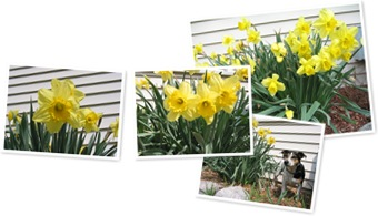 View Daffodils