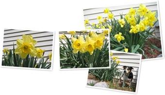 View Daffodils
