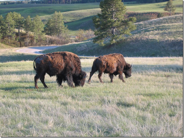 buffalo, shedding their winter coat