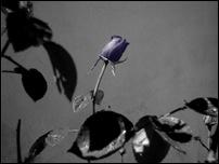 Rosas 15 [640x480]