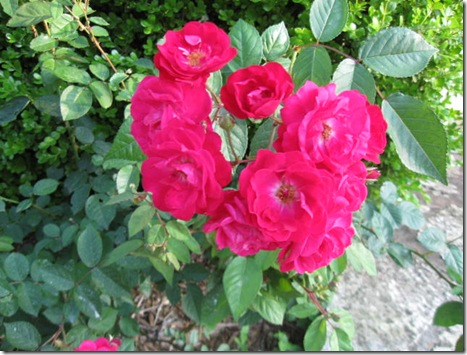 2010 roses pink and red 011