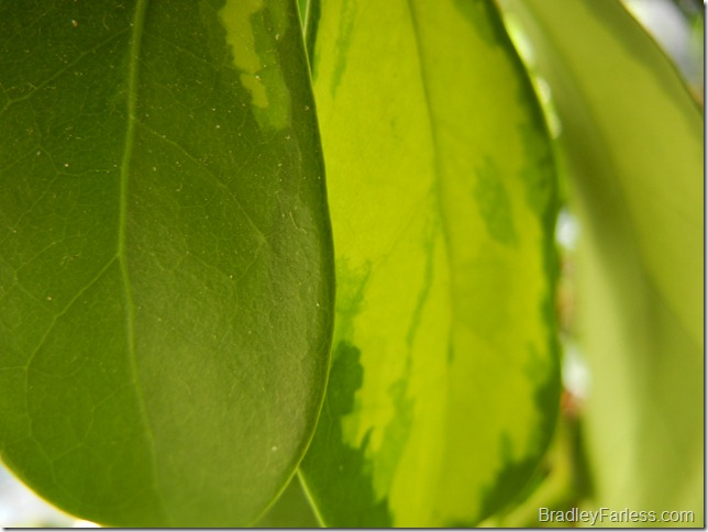 Leaves of an avocado plant.  A bit dusty.