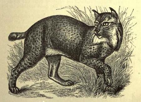 Northern_Lynx_(f._maculata)
