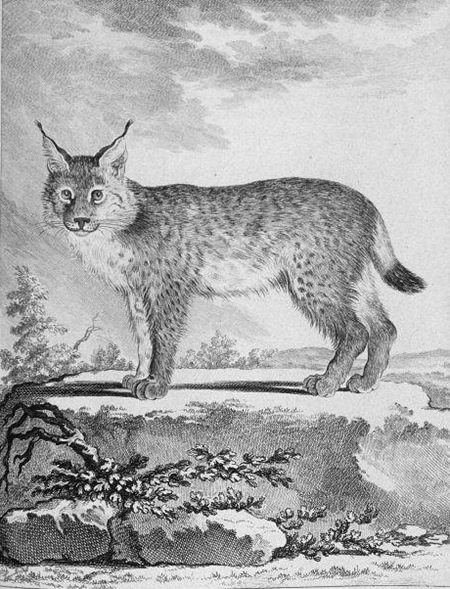 Lynx-Georges-Louis_Leclerc_Buffon