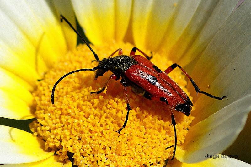 Escaravelho no malmequer