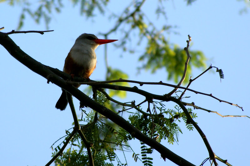Pássaro em Cabo verde
