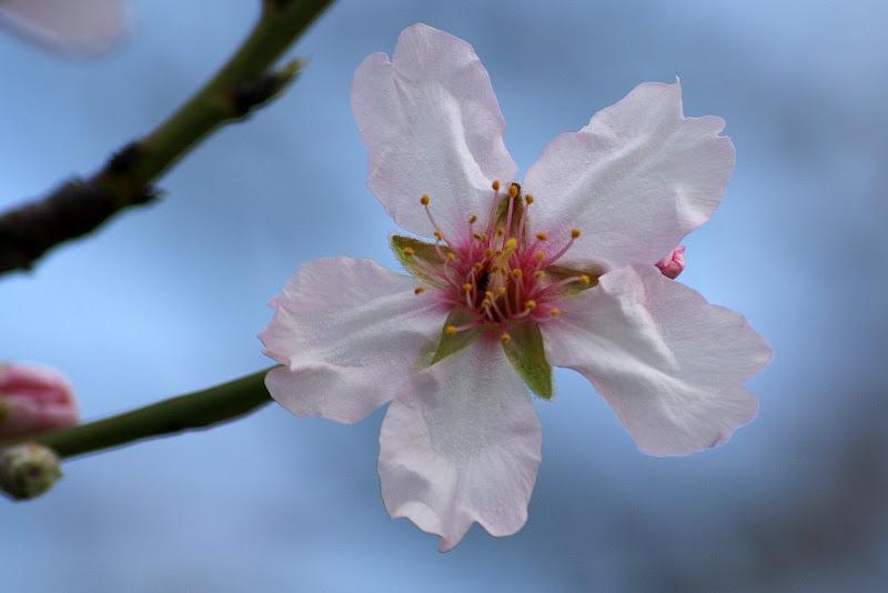 Flor de pessegueiro