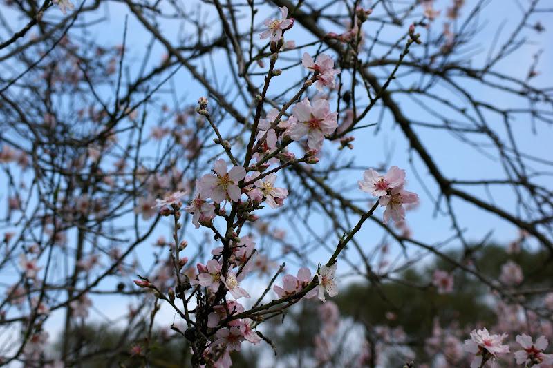Flores de pessegueiro, Albarquel