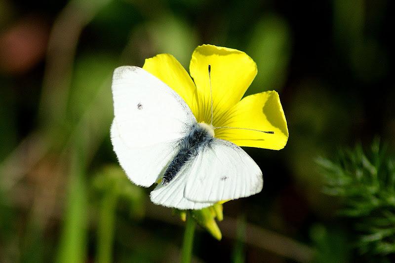 Flor de trevo e borboleta da couve