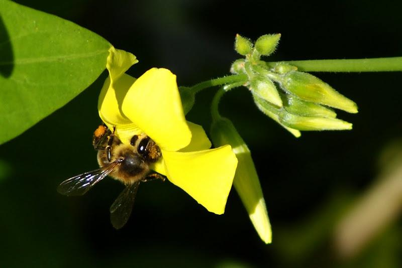 Abelha na flor de tevo