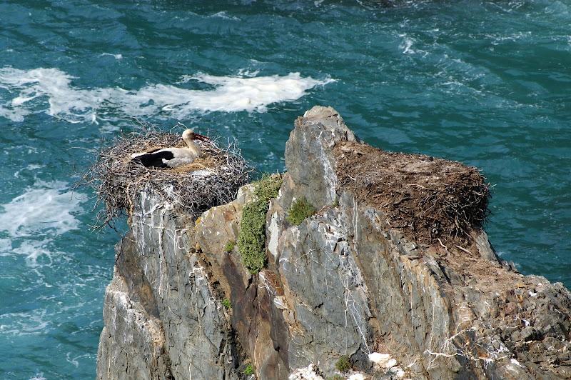 Cegonhas junto ao mar, Cabo Sardão