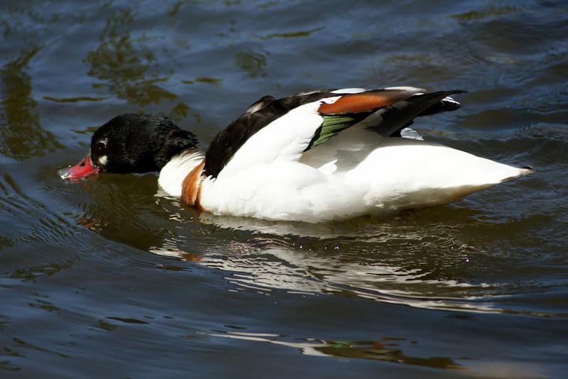 Pato no lago do Jardim do Bonfim