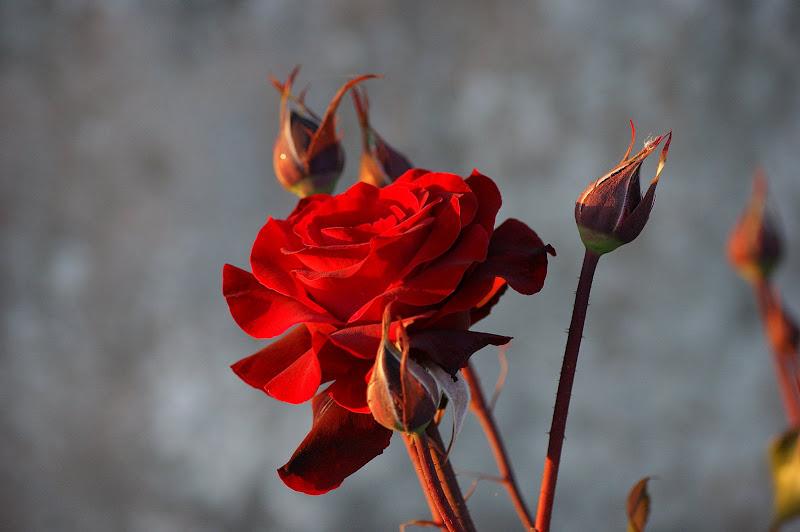 Rosas ao fim da tarde