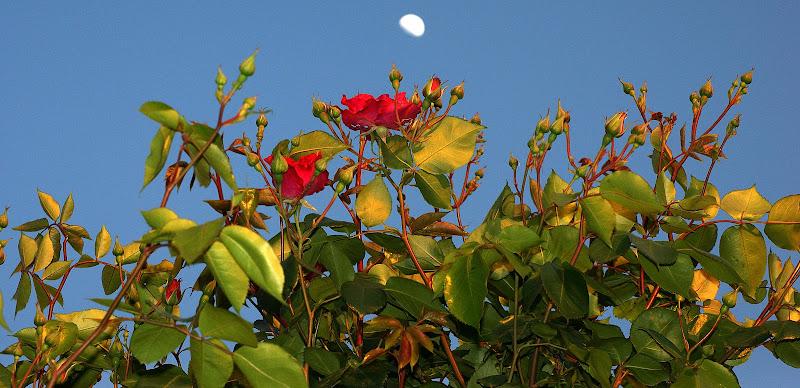 Rosas ao luar