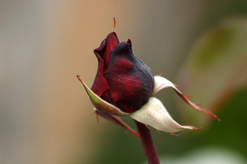 Botão de rosa vermelha