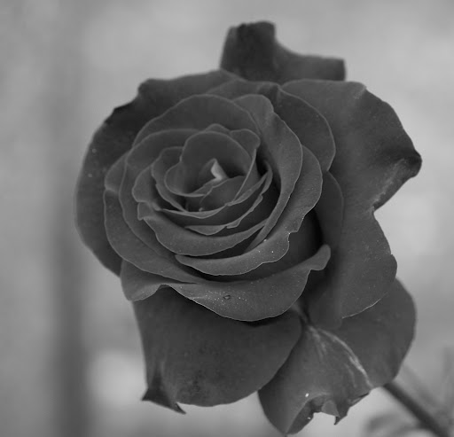 Balada do poema que não há, rosa