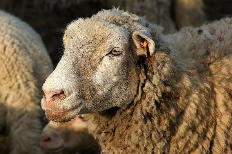 Ovelhas em Setúbal