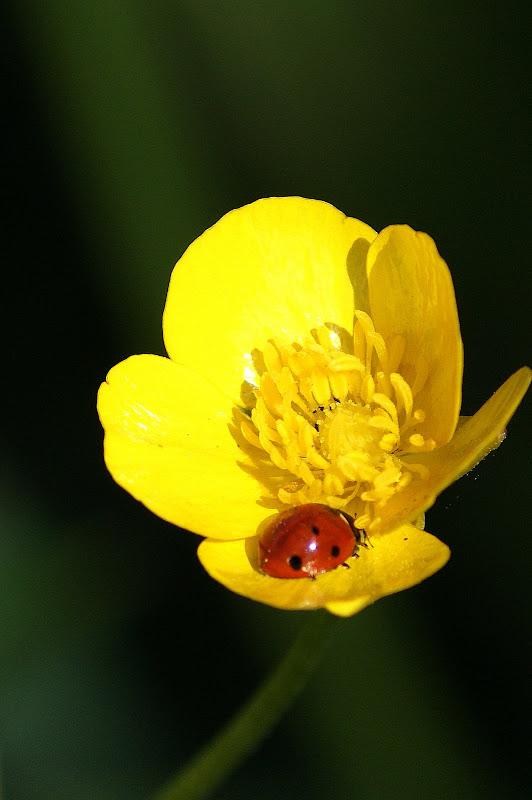 Joaninha na flor amarela