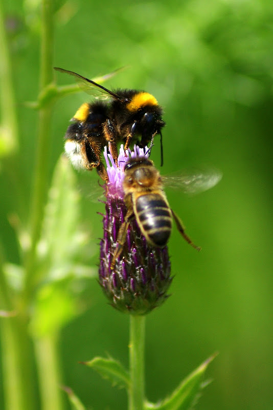 A abelha, fernando pessoa