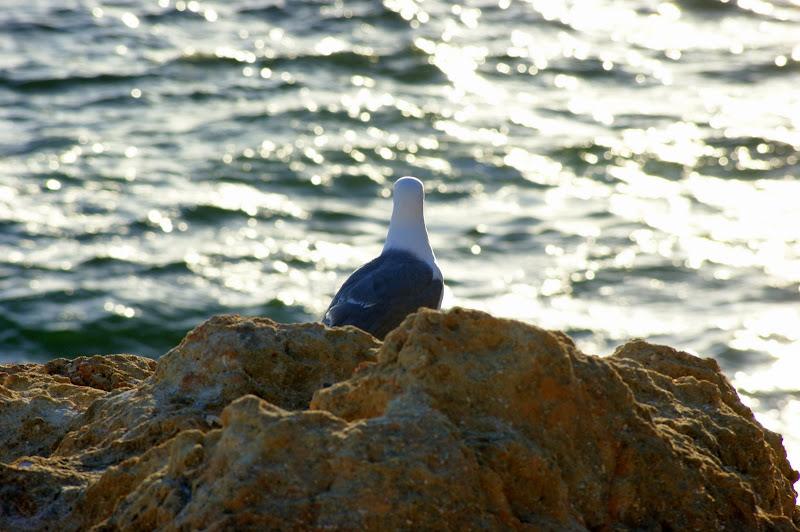 Gaivota a ver o mar, Carvoeiro, Algarve