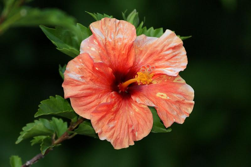 Hisbiscus laranja